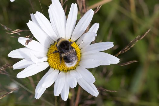 Bumblebee on Oxeye Daisy Flower Close Up.