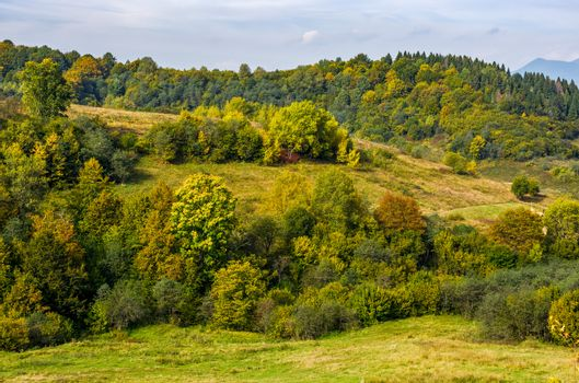 forest with colorful foliage on hills in mountainous countryside. lovely early autumn mountain landscape