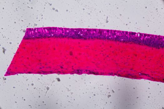 Anodonta gills ciliated epithelium under the microscope - Abstra