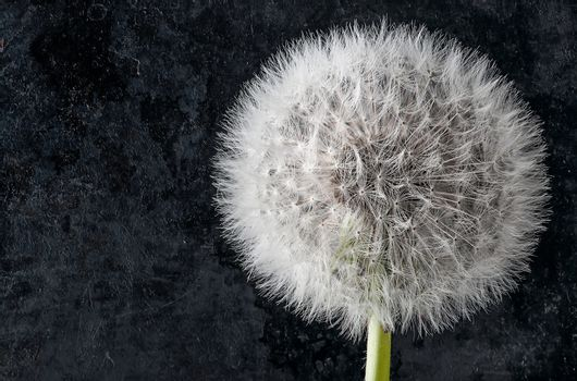 Closeup of inflorescence of dandelion