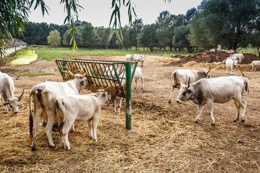 Hungarian gray cows