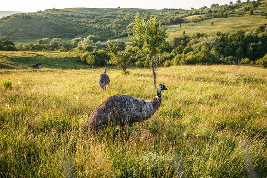 Wild emu carefully watching