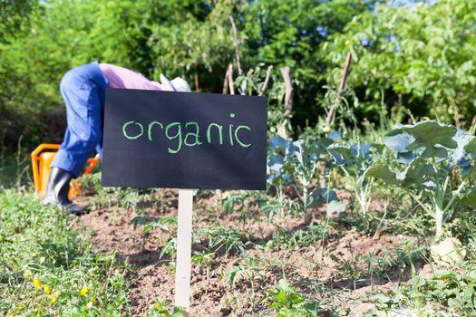 Farmer working in the organic vegetable garden