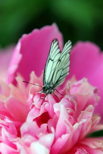 Butterfly on a pink peony flower
