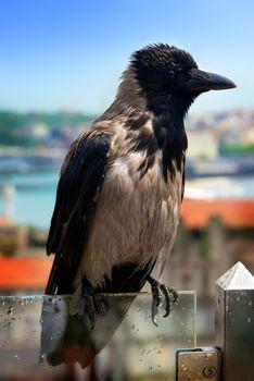 Wet gray crow