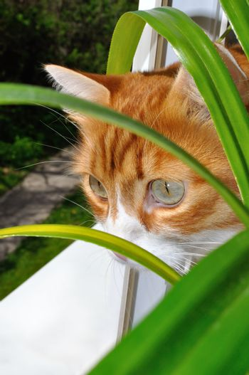 A looking red cat from behind the flowers