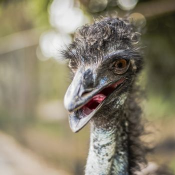 Emu by itself outdoors during the daytime