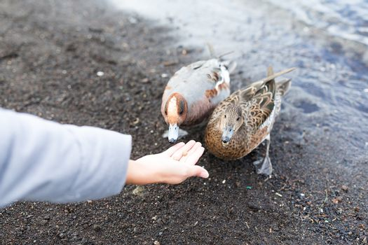 Woman feed duck