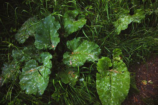 Wild Burdock leaves. High angle view, horizontal photo