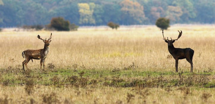 fallow deer bucks ready to fight in mating season, wild animals ( Dama )