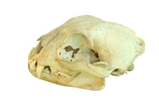 european lynx isolated cranium