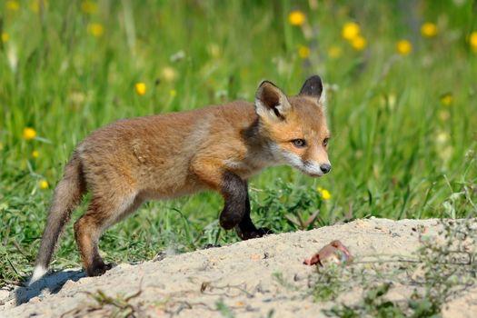 young eurasian red fox