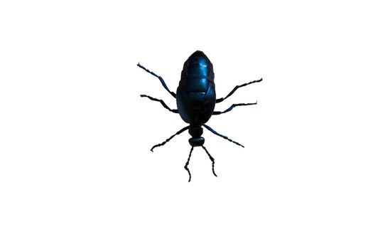 Big black beetle with six legs on white background.
