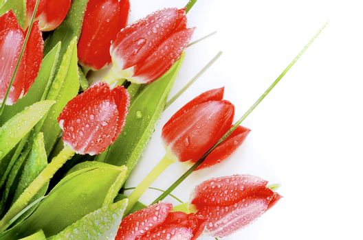Corner Border of Beauty Spring Red Tulips with Green Grass and Water Drops closeup on White background