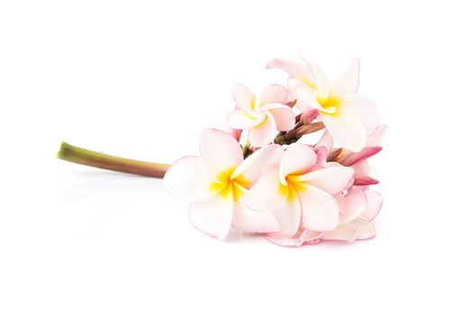 Sweet pink plumeria inflorescence on white background