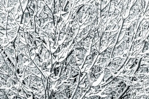 Tree branches covered with fresh snow at winter, natural black and white background