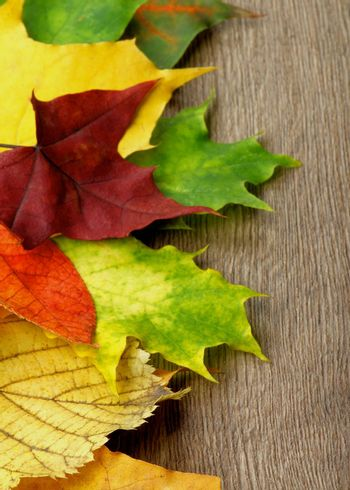 Border of Various Colorful Autumn Birch, Maple, Aspen and Alder Leafs closeup on Wooden background. Focus on Foreground