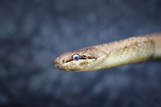 abstract portrait of european common smooth snake