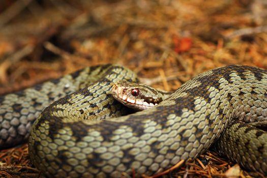 beautiful closeup of european crossed viper