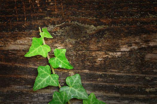 beautiful ivy on wood fence