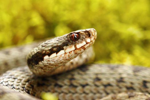 beautiful portrait of common european viper