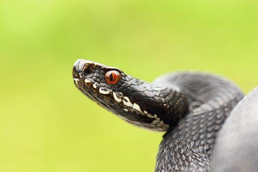 close up of black european common viper