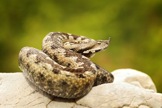 colorful european sand adder on stone
