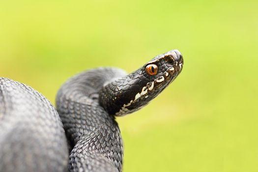detailed portrait of black female viper