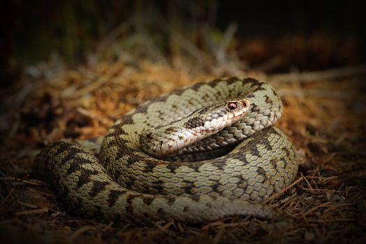 european crossed viper, snake on forest ground