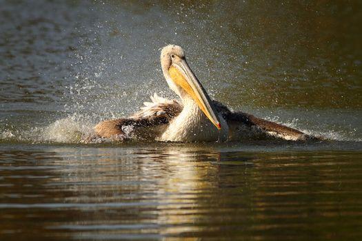 juvenile pelican splashing water