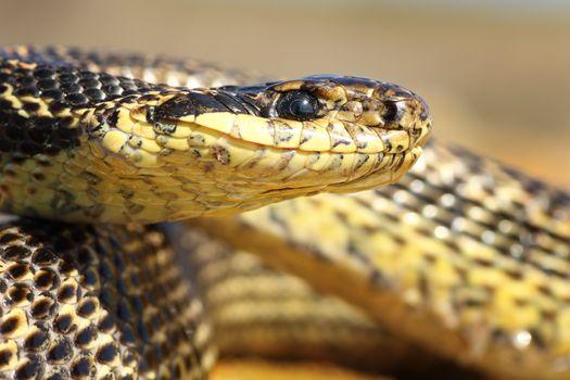 macro portrait of a blotched snake