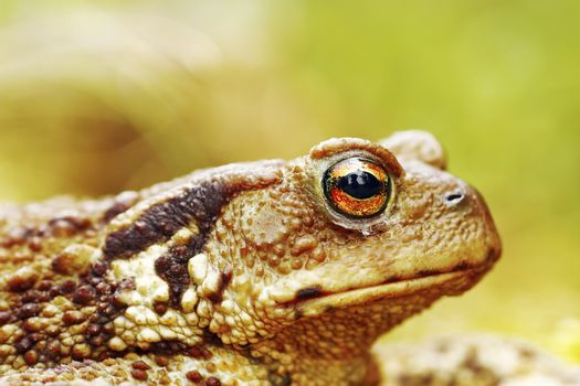 macro image of common brown toad head