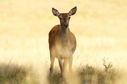 red deer hind closeup