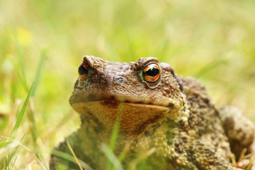 ugly portrait of common brown toad