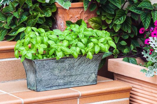 Potted fresh basil among home garden plants outdoors
