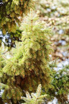 Conifer branch