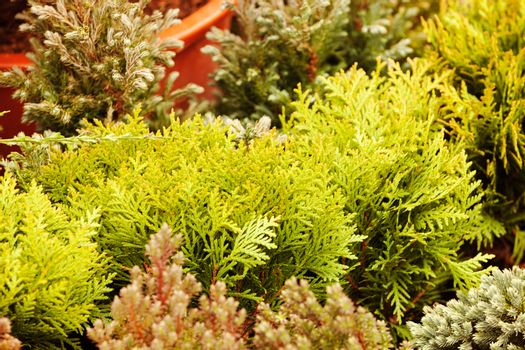 evergreen shrubs