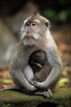 Family of monkeys. Monkeys forest on Bali. Indonesia