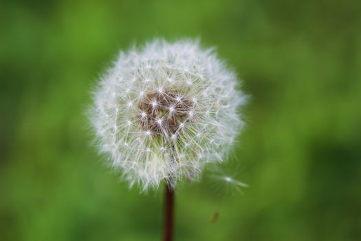 Fluffy mature dandelion on a green background