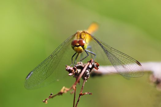 Red dragonfly on a dried branch on a green background