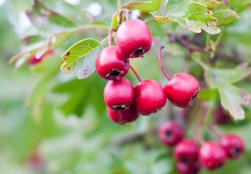 close up of hanging red hawthorn berries Crataegus