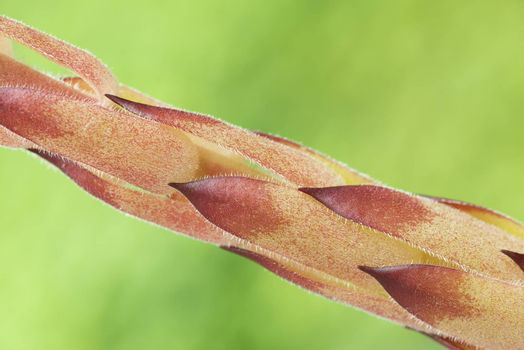 Detail of the stem of the medicinal herb also known as Sempervivum Tectorum