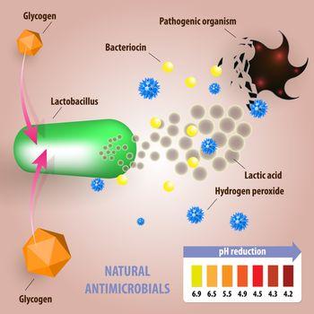 Antimicrobial properties of lactobacilli. Medical illustration of normal vaginal microflora