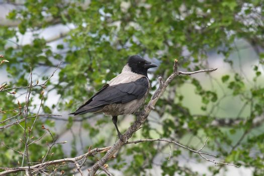gray crow sitting on a branch among green leaves