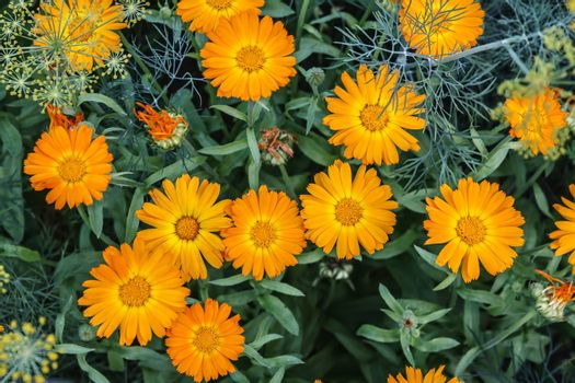 bright orange marigold flowers shot from above