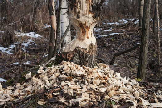 the beavers gnawed  tree  trunk in forest