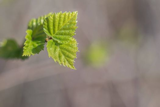 The first green leaves burgeon  in spring, the small depth of sharpness
