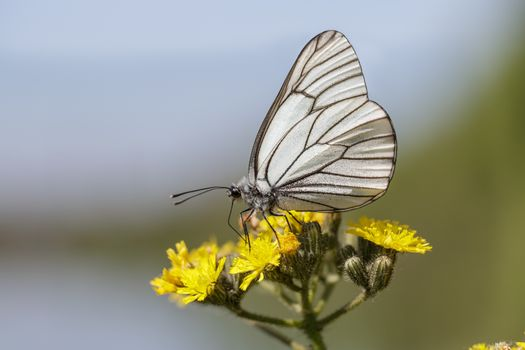 Black-veined White butterfly (Aporia crataegi) on a yellow flower