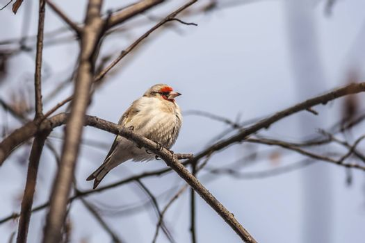 the goldfinch sits on a branch, having fluffed up feathers from cold