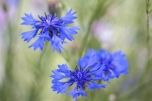 blue cornflowers at a shallow depth of field